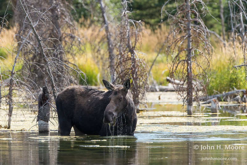 A momma moose feeding in a beaver pond at Schwabacher's Landing in Grand Teton National Park, Wyoming.
