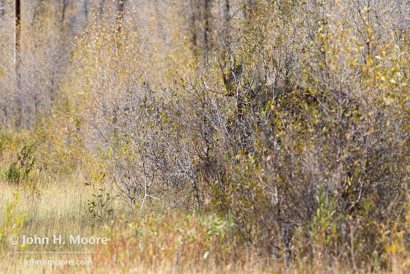 A bull moose hides in the bushes.  Grand Teton National Park, Wyoming, USA