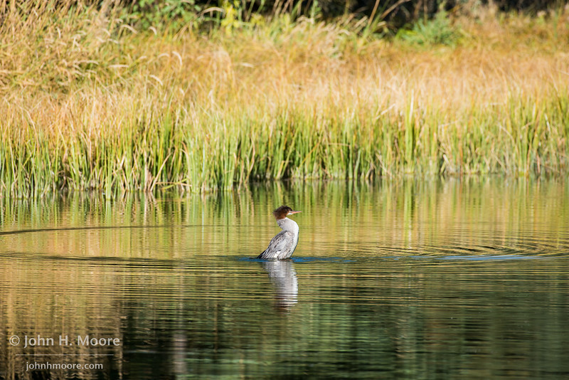 A common merganser in a pond along the Snake River in Grand Teton National Park, Wyoming, USA