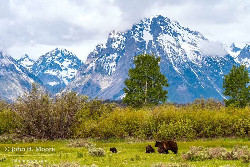 Bear 399 and her four cubs cross Willow Flats beneath the Teton Mountains in Grand Teton National Park