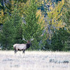 A bull elk emerges from the woods in the early evening.  Grand Teton National Park, Wyoming, USA