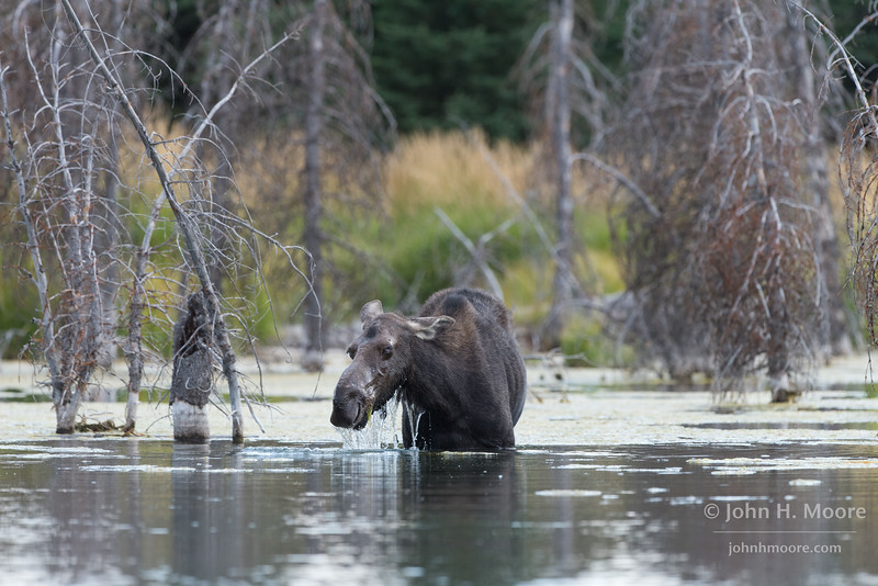A moose pulls its head up out of the water in a beaver pond in Grand Teton National Park, Wyoming.