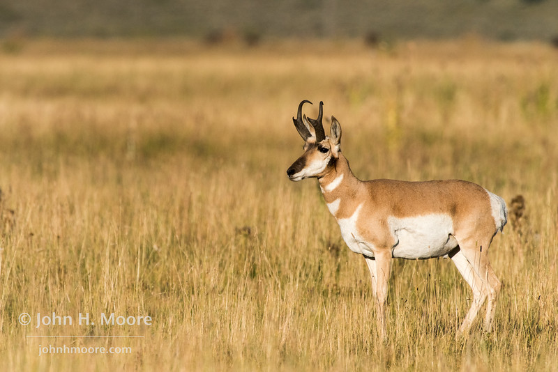 A pronghorn in Grand Teton National Park, Wyoming