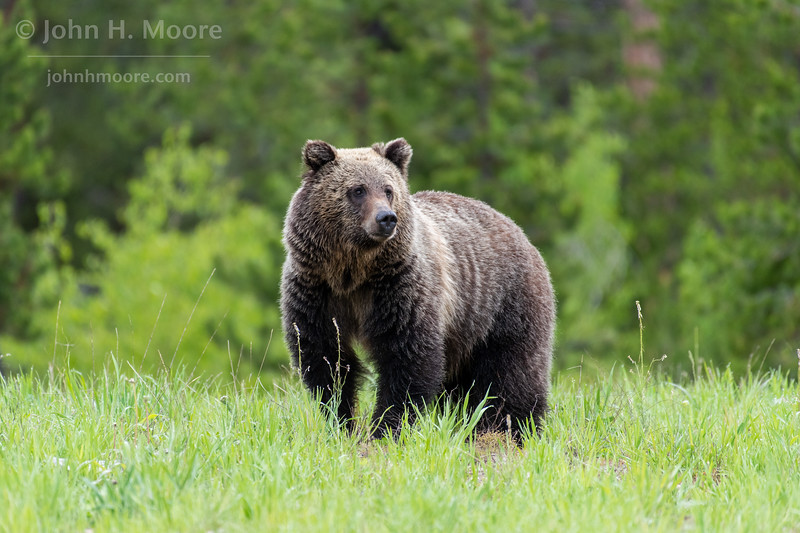 "One of ""the twins"" (3 year old children of the bear ""Blondie,"" which still live together) pauses while crossing a field in Grand Teton National Park"