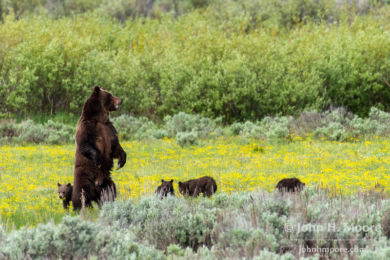 Bear 399 stands to look north while her four cubs gather nearby.  Willow Flats area in Grand Teton National Park