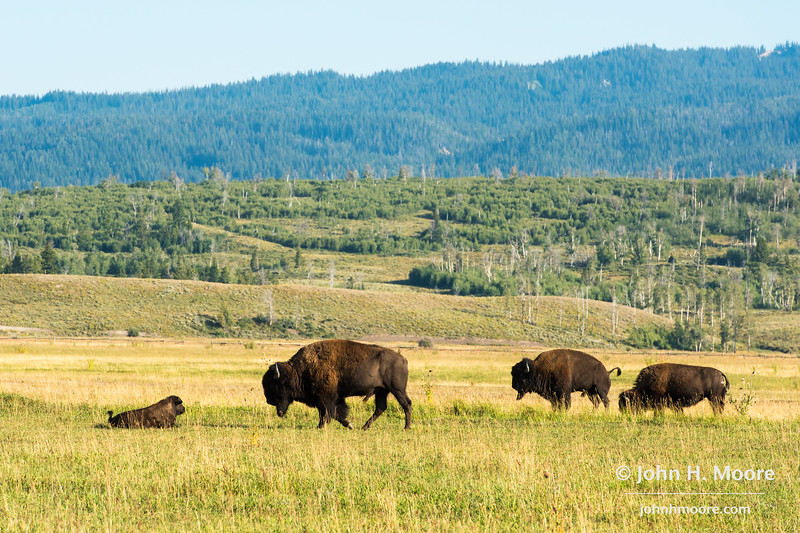 Bison and calf grazing in Grand Teton National Park, Wyoming.