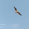 An osprey soars above Jackson Lake in Grand Teton National Park, Wyoming.