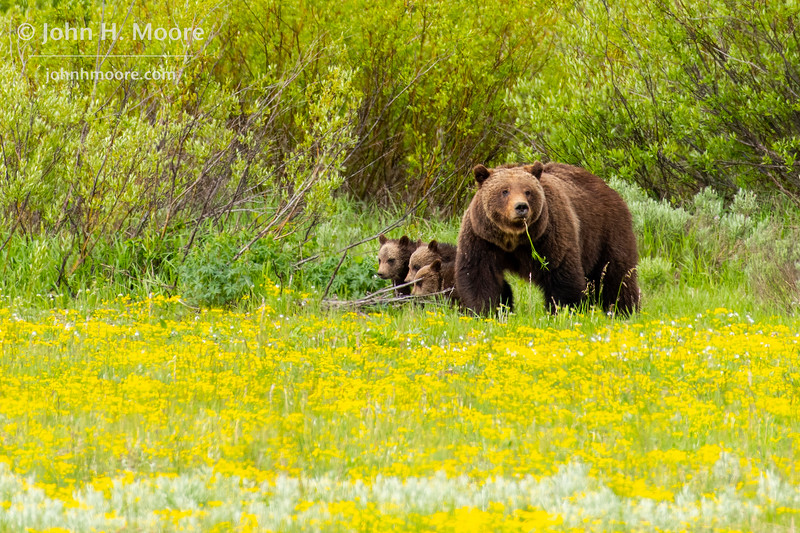 Bear 399 and her four cubs forage in a field of biscuitroot in Grand Teton National Park