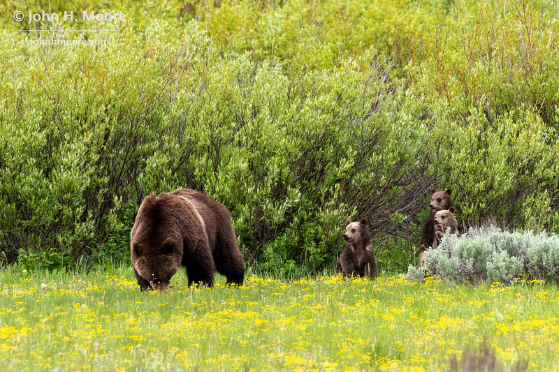 Bear 399 eats biscuitroot in a field while her four cubs watch, Grand Teton National Park