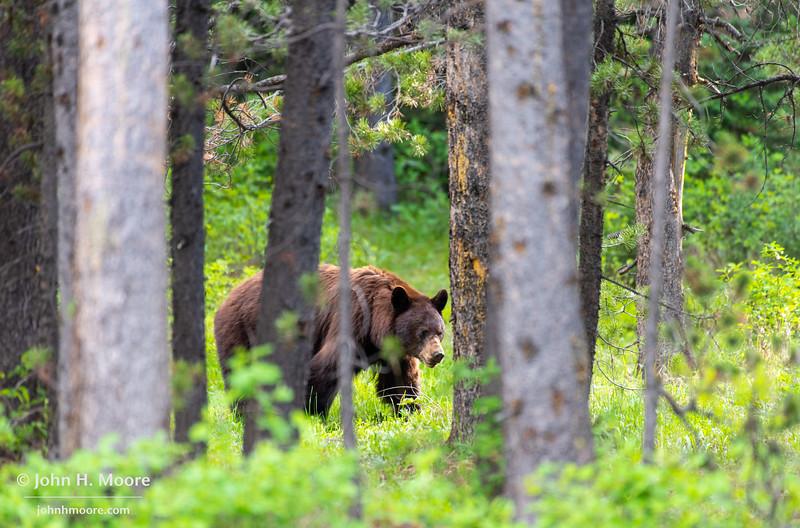 A brown bear walks through the woods in Grand Teton National Park