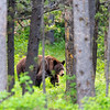 A brown bear walks through the woods in Grand Teton National Park