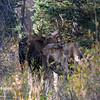 A bull moose sniffs the hormones of a cow moose during fall rut.  Grand Teton National Park, Wyoming, USA