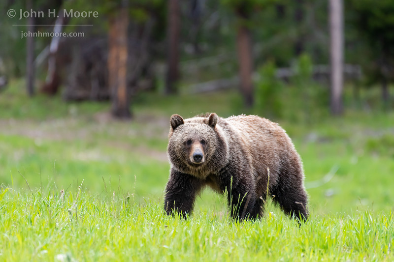 """One of """"the twins"""" (3 year old children of the bear """"Blondie,"""" which still live together) crossing a field in Grand Teton National Park"""