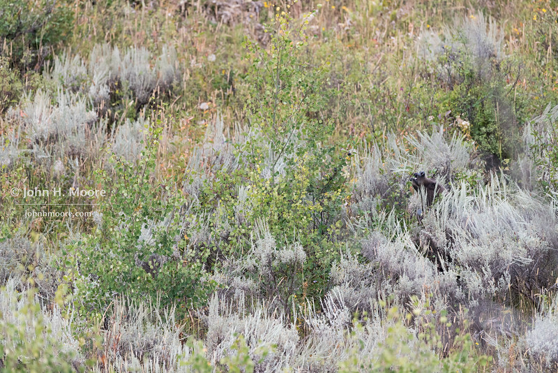 A grizzly bear peeks out from the brush.  Grand Teton National Park, Wyoming.