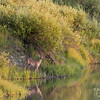 A deer comes for a sunset drink in the Snake River.  Grand Teton National Park, Wyoming.
