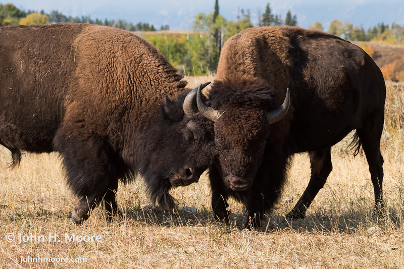 Two bison butt heads.  Grand Teton National Park, Wyoming, USA