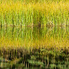 Reeds and their reflections in a beaver pond.  Grand Teton National Park, Wyoming.