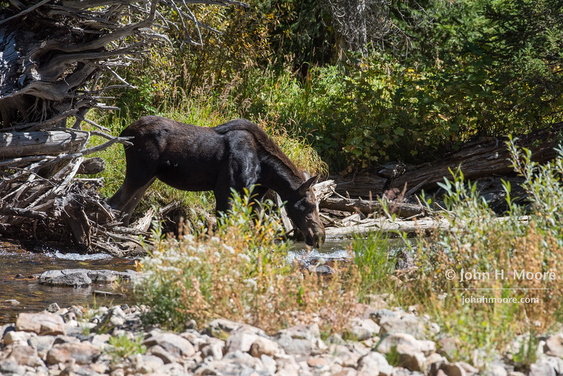 An adolescent moose drinks from the river running down Cascade Canyon in Grand Teton National Park, Wyoming, USA.