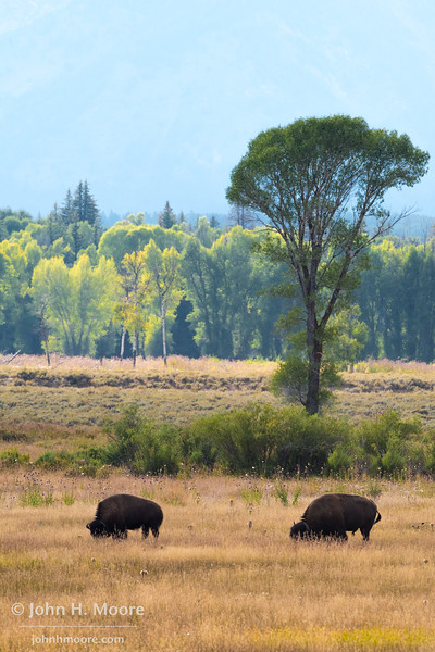 Bison grazing in Grand Teton National Park, Wyoming