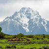 A herd of elk graze beneath Mount Moran in Grand Teton National Park