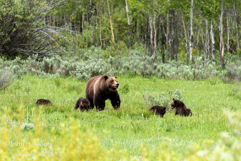 Bear 399 and her four cubs play in an opening in the woods, Grand Teton National Park