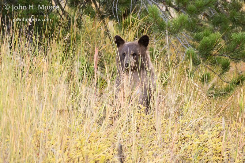 A cinnamon black bear cub surveys the scene.  Grand Teton National Park, Wyoming, USA