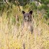 A cinnamon black bear cub surveys the scene.  Grand Teton National Park, Wyoming, USA
