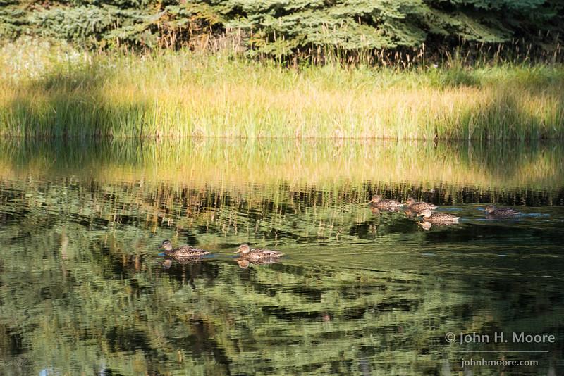 Ducks along the Snake River, Grand Teton National Park, Wyoming