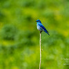 A mountain bluebird sits on a bare stem in a green and yellow field in Wyoming