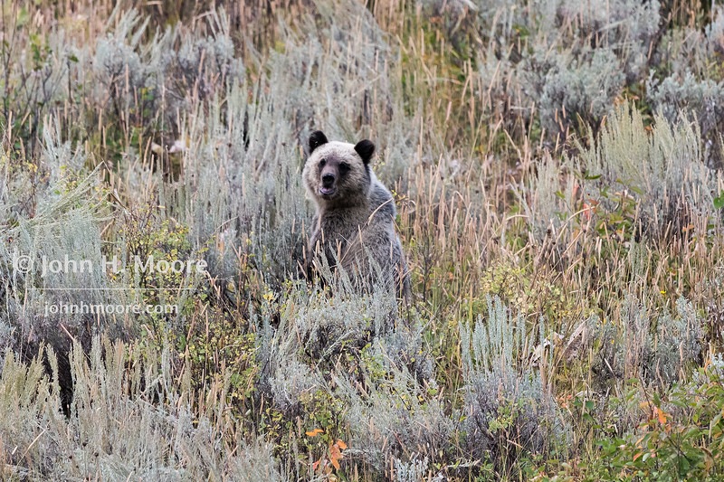 One of two cubs of Grizzly Bear 399 in Grand Teton National Park, Wyoming.