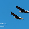 Two bald eagles soar over the Snake River in Grand Teton National Park, Wyoming