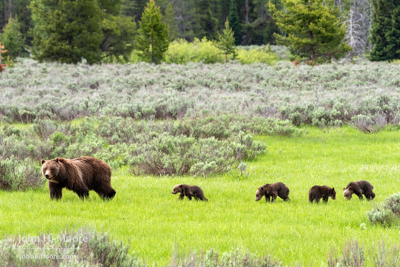 Bear 399 and her four cubs cross an open field in Willow Flats, Grand Teton National Park