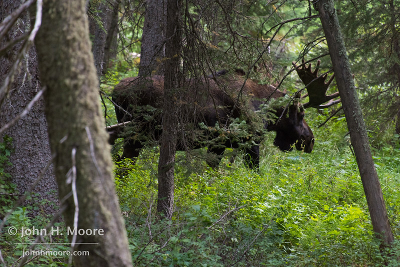 A bull moose moving through the woods in Cascade Canyon, Grand Teton National Park, Wyoming.