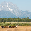 Horses below Mount Moran, Grand Teton National Park, Wyoming