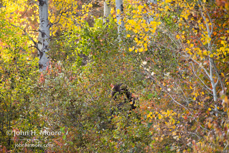 A black bear feeds up in a tree.  Grand Teton National Park, Wyoming, USA