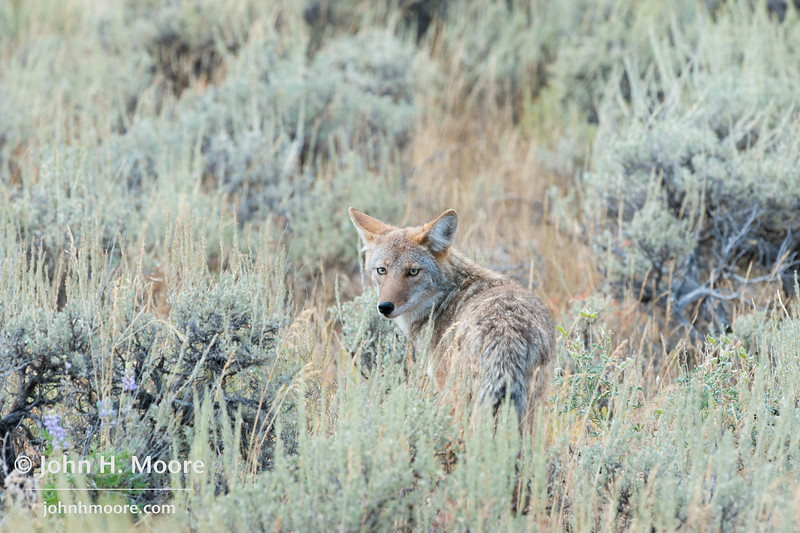 A coyote looks back at the photographer, Grand Teton National Park, Wyoming