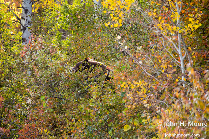 A black bear feeds in a tree.  Grand Teton National Park, Wyoming, USA