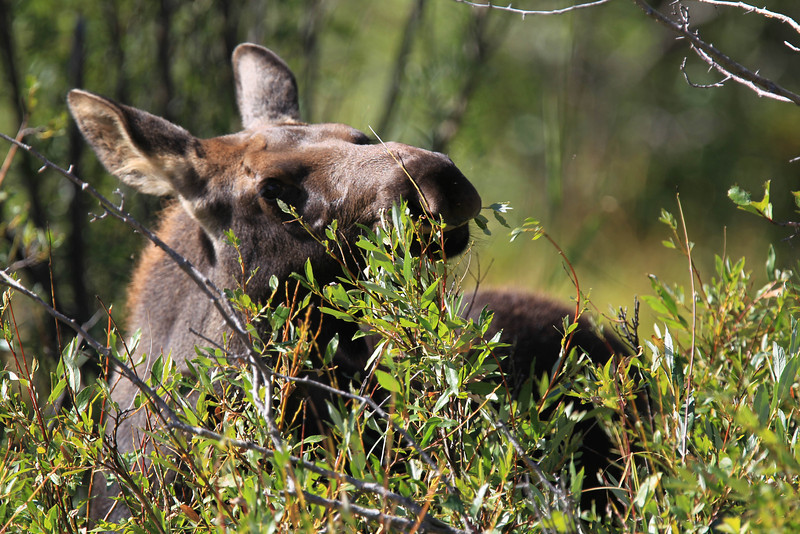 Baby moose in Grand Teton national park.