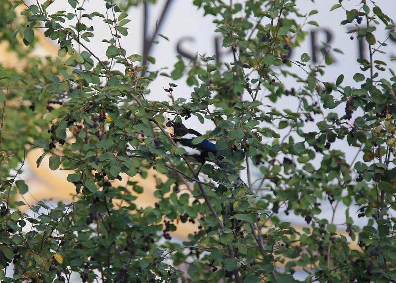Magpie near hotel