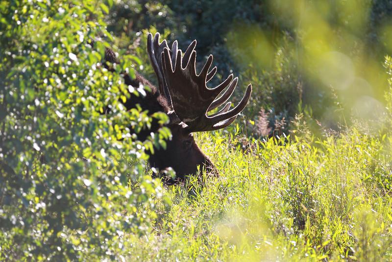Moose in Grant Teton national park.