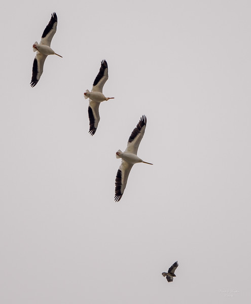 Three Pelicans & A Hawk