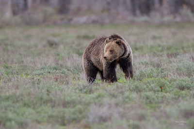 Blondie The Grizzly