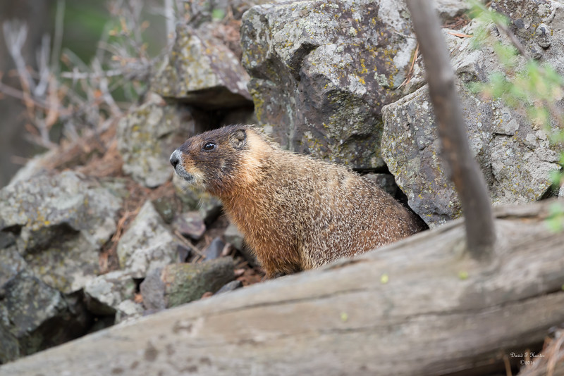 Marmot In A Hole