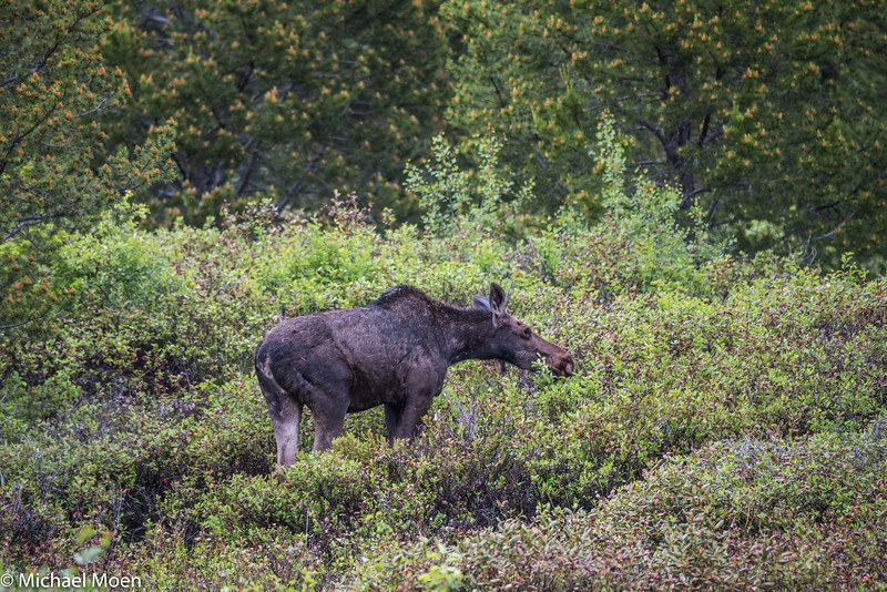 Moose Just off the Trail 1