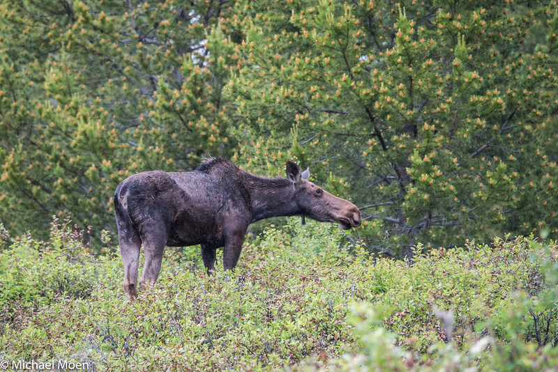 Moose Just off the Trail 2