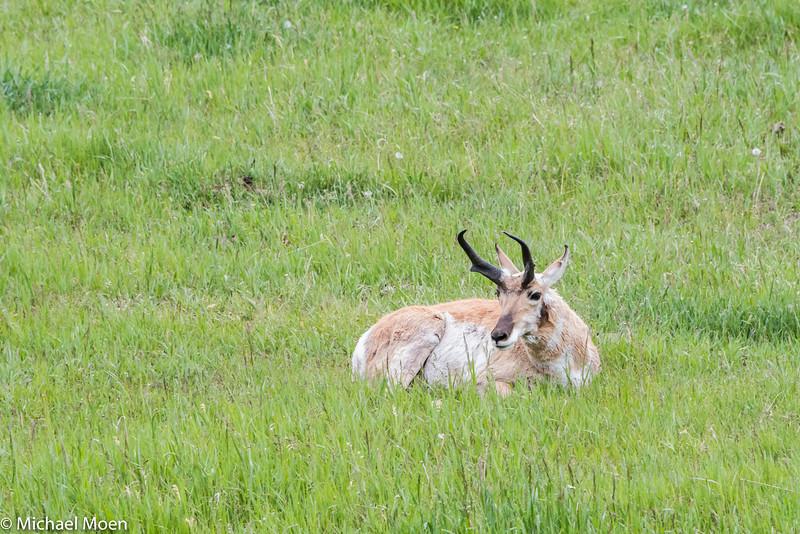 Pronghorn Antelope 2