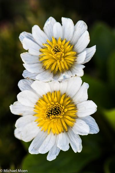 Beartooth Unknown Flower 2