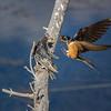 Swallow feeding chicks