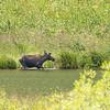Grand Tetons, young bull moose