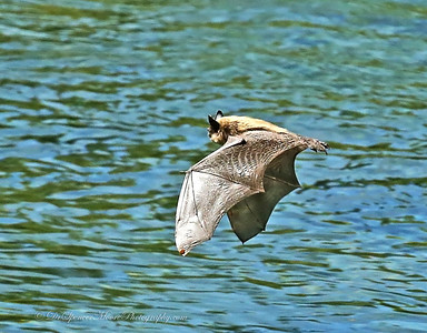 I caught this bat flying in the middle of the day over the river that overflowed out of Jenny Lake In the Tetons NP. The Rangers told me he had been there for 2 days and had never seen one do this before. I figure he just migrated in and was loading up on nutrition before resuming his nightly routine. The question has been raised about him being rabid, but I feel that condition would make him sick enough that his sophisticated flying and feeding that he was doing would be noticeably impaired. He was very much under control of his flying.